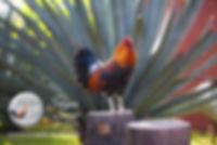 Potrero Nuevo, Venta de Gallos para combate y para pie de cria, gallos Jumper