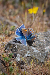 'Common Blue Pair' by Jonathan Clark
