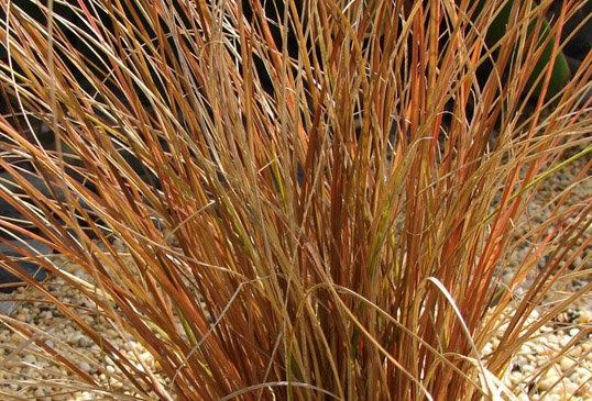 """Осока власовидная, Carex comans, """"Bronco"""""""