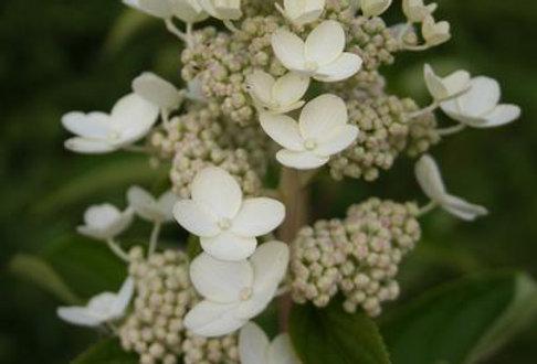 """Гортензия метельчатая, Hydrangea paniculata, """"Prime White"""""""