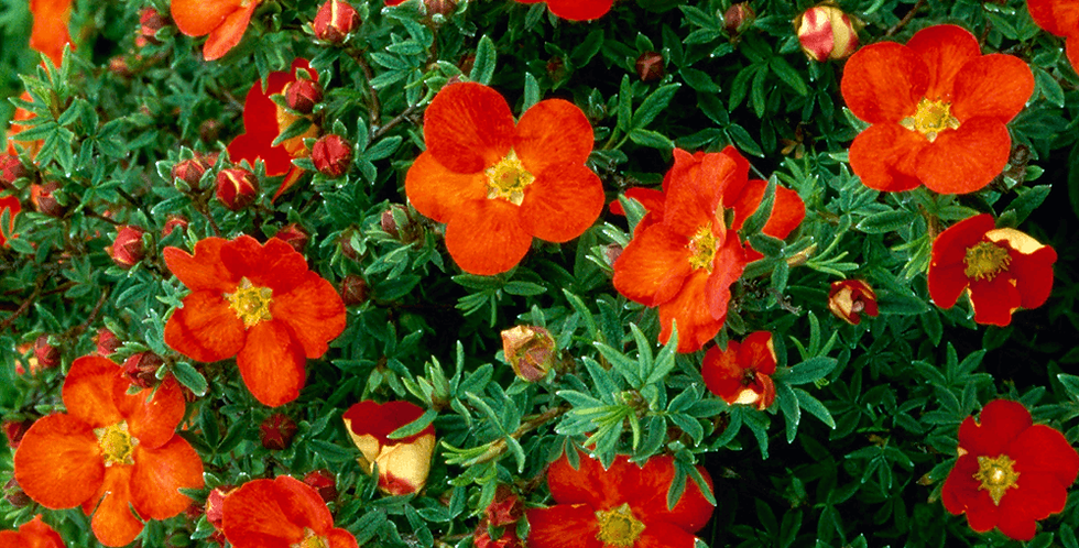 "Лапчатка кустарниковая, Potentilla fruticosa, ""Marian Red Robin"""