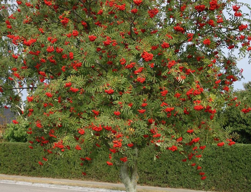 Рябина обыкновенная, Sorbus aucuparia