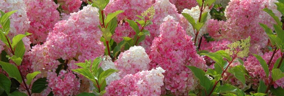 "Гортензия метельчатая , Hydrangea paniculata, ""Sundae Fraise"""