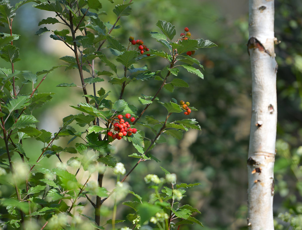 Рябина промежуточная, Sorbus intermedia