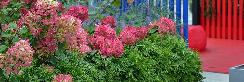 "Гортензия метельчатая, Hydrangea paniculata, ""Fraise Melba"""