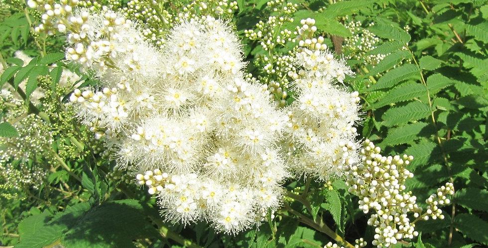 Рябинник рябинолистный, Sorbaria sorbifolia