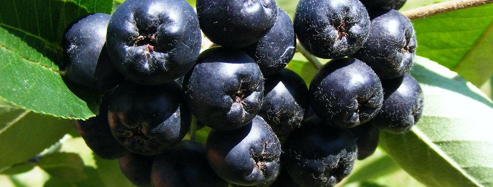 Рябина черноплодная, Aronia melanocarpa