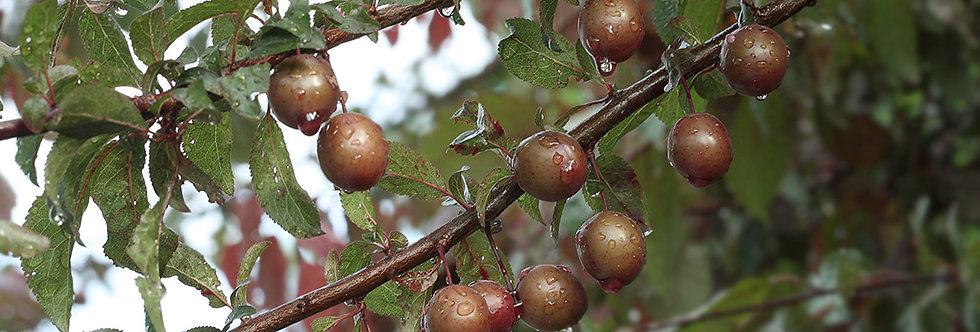 Слива растопыренная, Prunus cerasifera var.pissardii