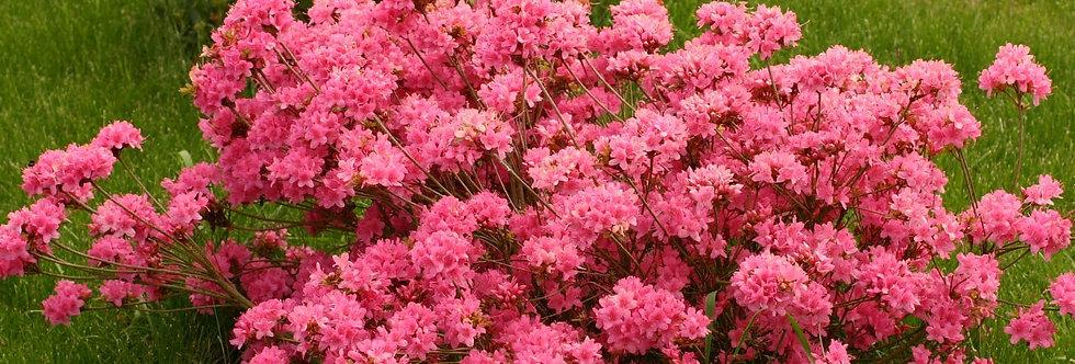 Азалия японская, Azalea japonica