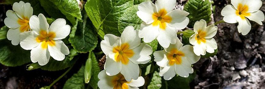 Примула бесстебельная, Primula acaulis