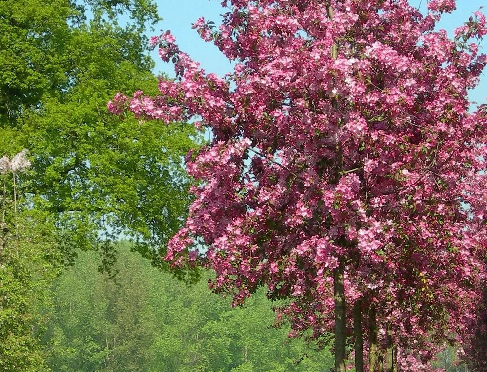 "Яблоня гибридная, Malus hybride, ""Рудольф"""