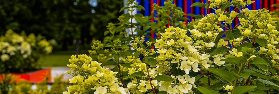 "Гортензия метельчатая, Hydrangea paniculata, ""Dentelle de Gorron"""