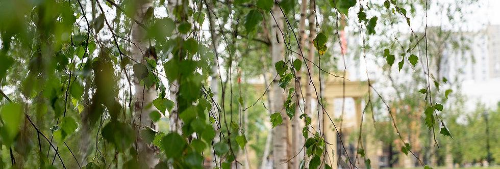 Береза повислая, Betula pendula