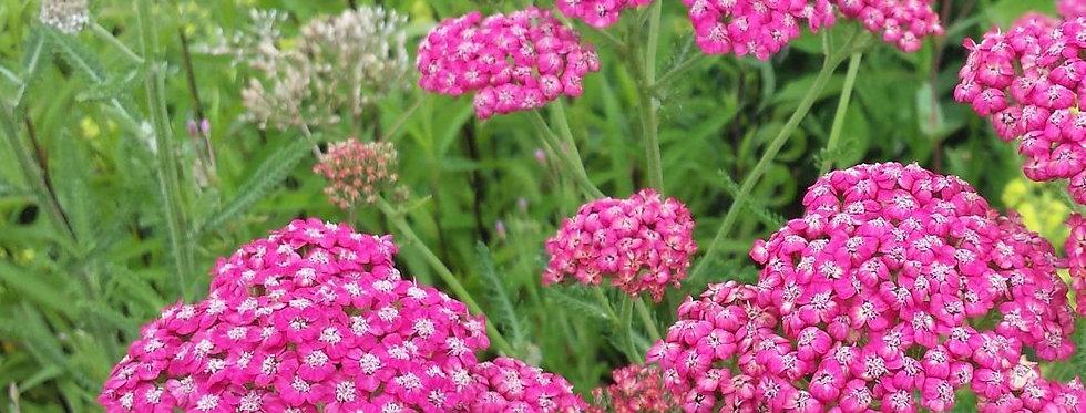 """Тысячелистник обыкновенный, Achillea millefolium, """"Cerise Queen"""""""