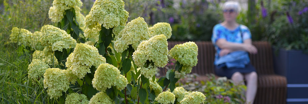 "Гортензия метельчатая, Hydrangea paniculata, ""Limelight"""