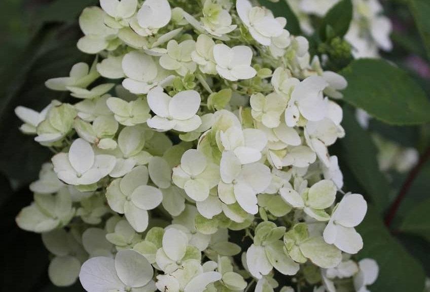"Гортензия метельчатая, Hydrangea paniculata, ""Unique"""