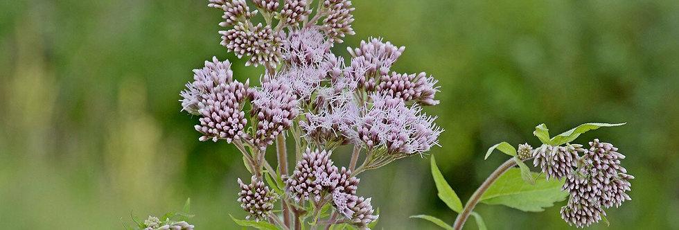 Валериана лекарственная, Valeriana officinalis