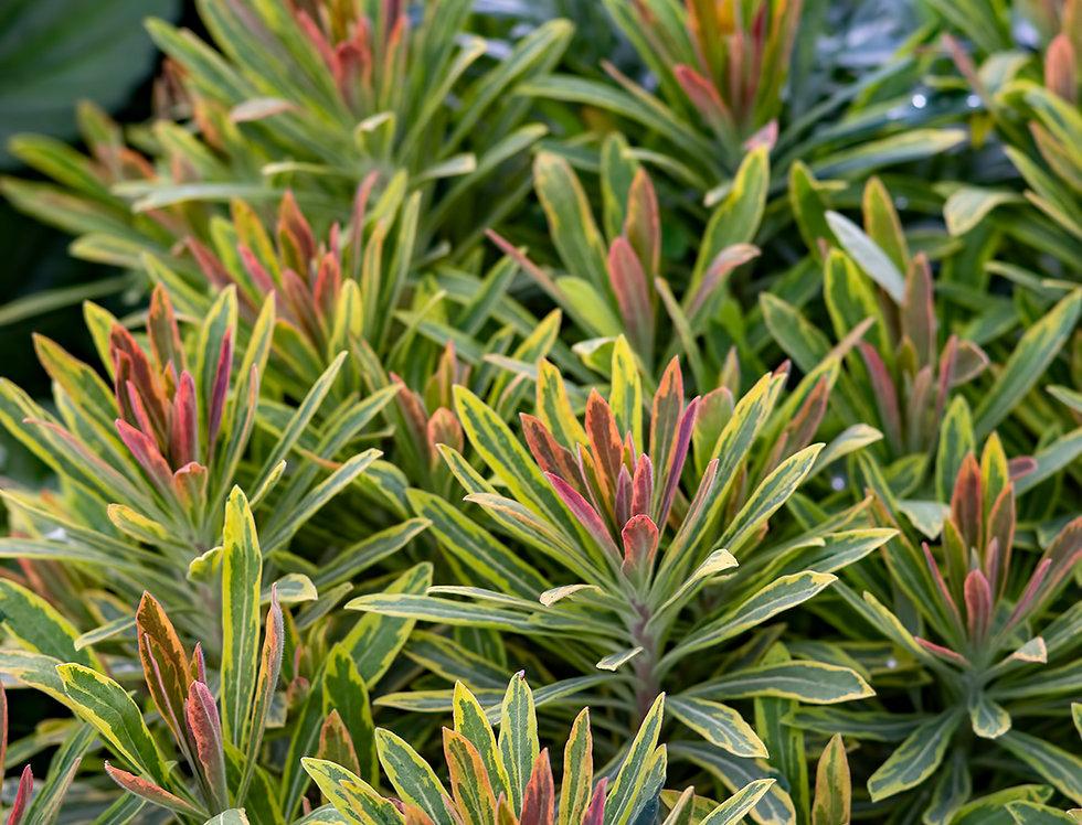 Молочай многоцвековый, Euphorbia polichroma