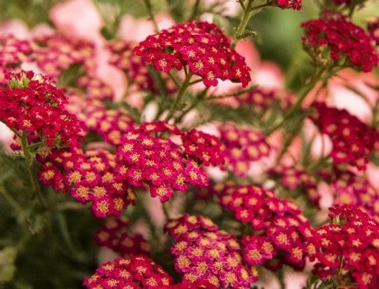 """Тысячелистник обыкновенный, Achillea millefolium, """"Red Velvet"""""""