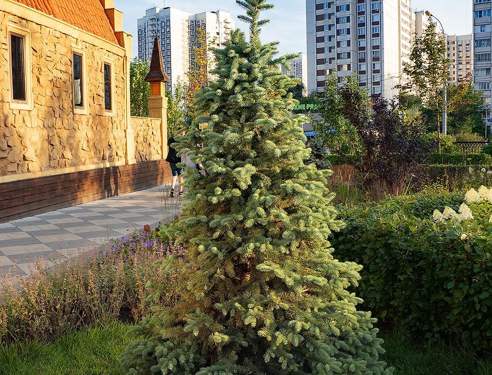 Ель обыкновенная, Picea abies