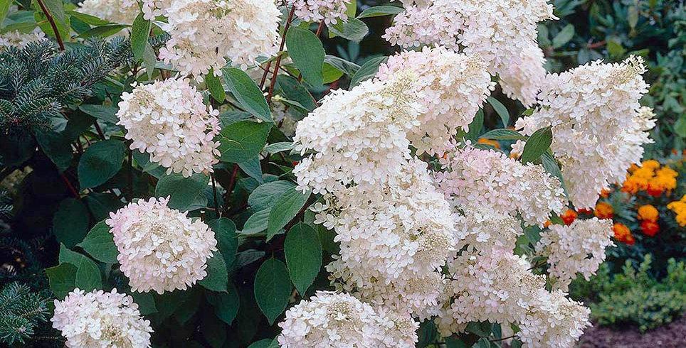 "Гортензия метельчатая, Hydrangea paniculata, ""Grandiflora"""