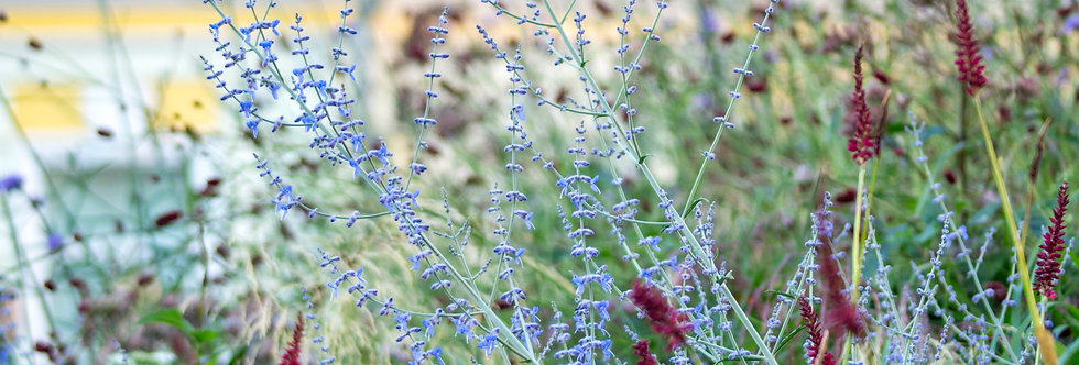 """Перовския лебединолистная, Perovskia atriplicifolia, """"Blue Spire"""""""