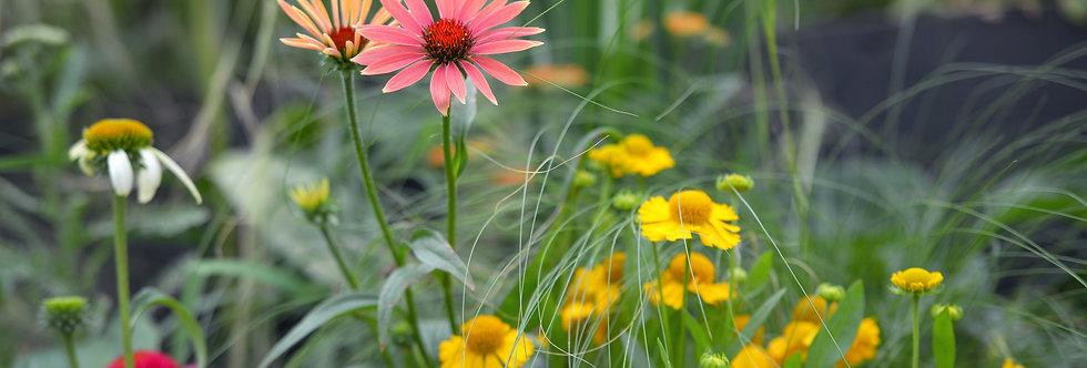 """Эхинацея пурпурная, Echinacea purpurea, """"Deliсios Candy"""""""