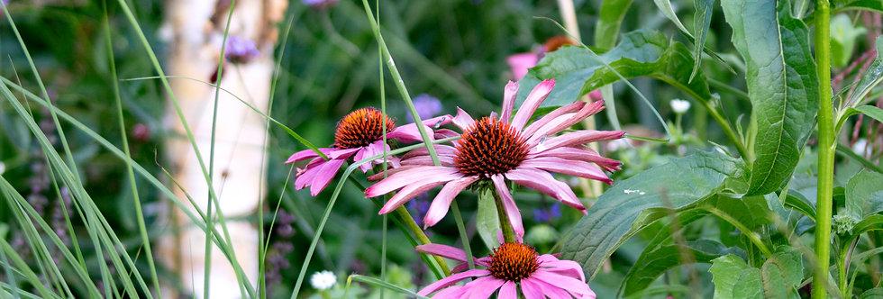 """Эхинацея пурпурная, Echinacea purpurea, """"Magnus"""""""
