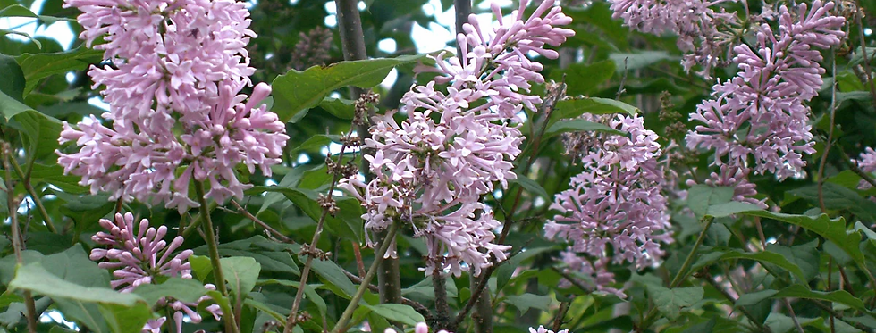 Сирень венгерская, Syringa vulgaris