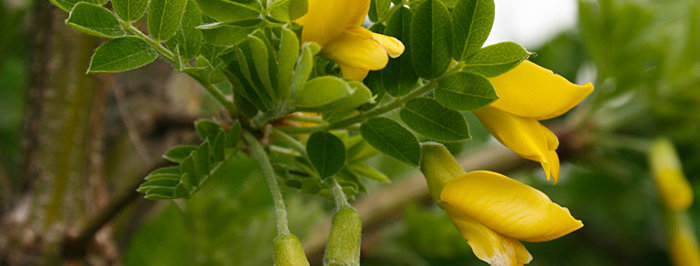 Карагана древовидная, Carogana arborescens