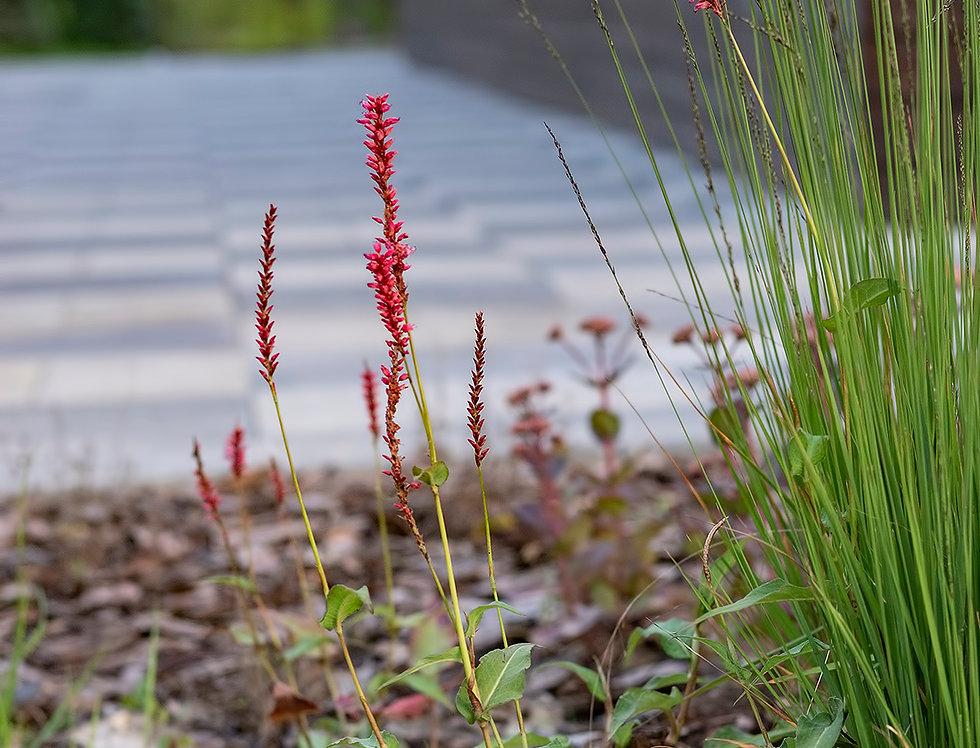 """Горец свечевидный, Persicaria amplexicaule, """"Heutinck"""""""