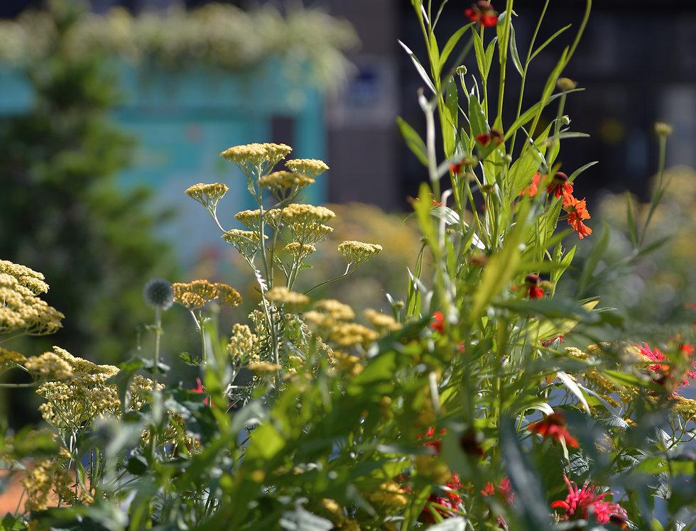 "Гелениум гибридный, Helenium hybridum, ""Moerheim Beauty"""