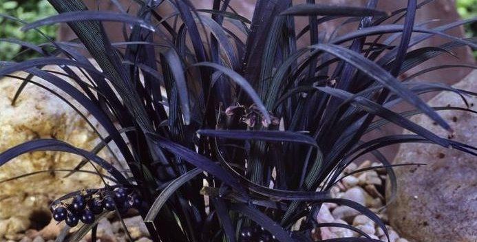 "Офиопогон плоскострелый, Ophiopogon planiscapus, ""Niger"""