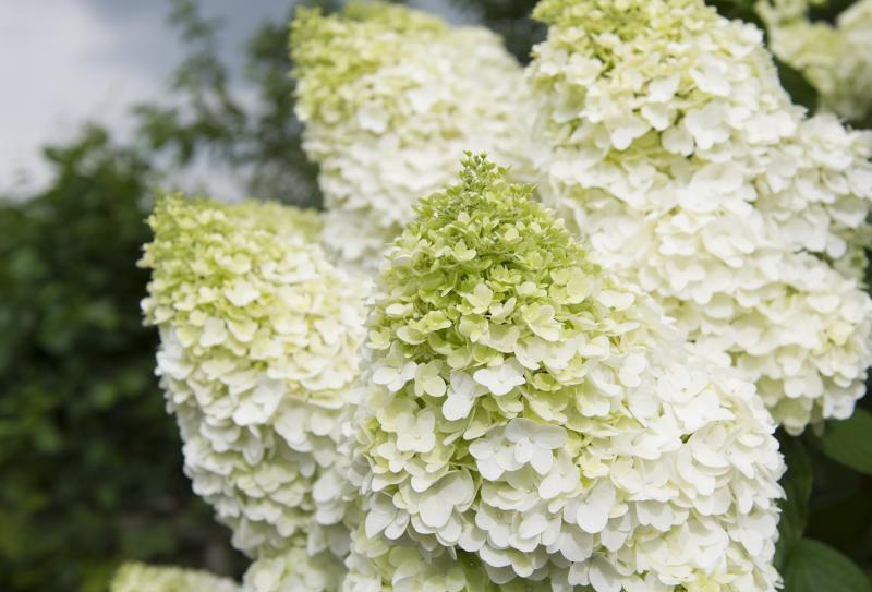 "Гортензия метельчатая, Hydrangea paniculata, ""Silver Dollar"""
