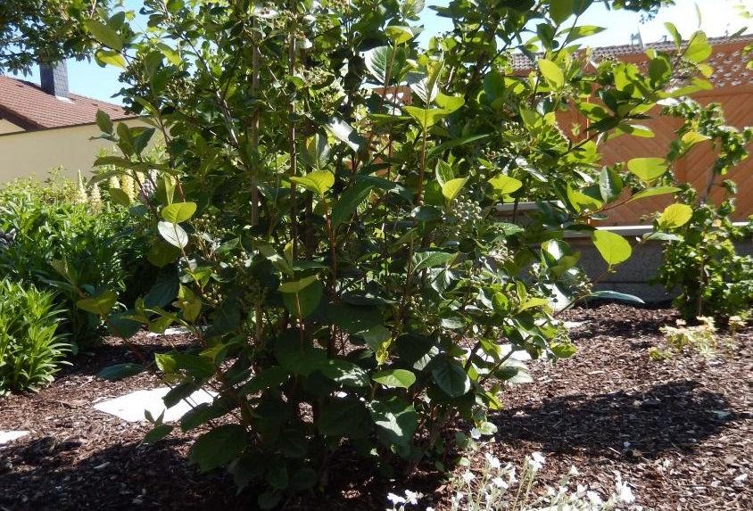Арония черноплодная, Aronia melanocarpa