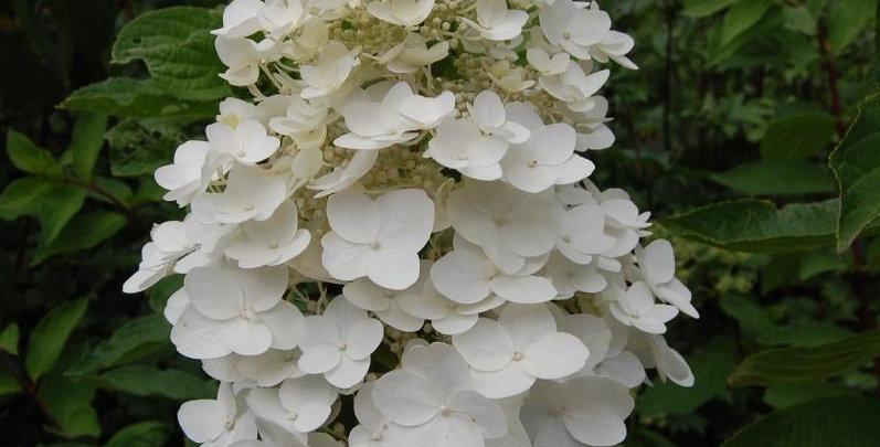 "Гортензия метельчатая, Hydrangea paniculata, ""Kyushu"""