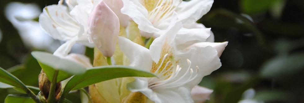 """Рододендрон гибридный, Rhododendron hybridа, """"Cunningham's White"""""""