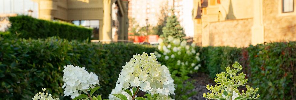 """Гортензия древовидная, Hydrangea arborescens, """"Annabelle"""""""