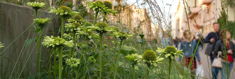 "Эхинацея пурпурная, Echinacea purpurea, ""Green Jewel"""