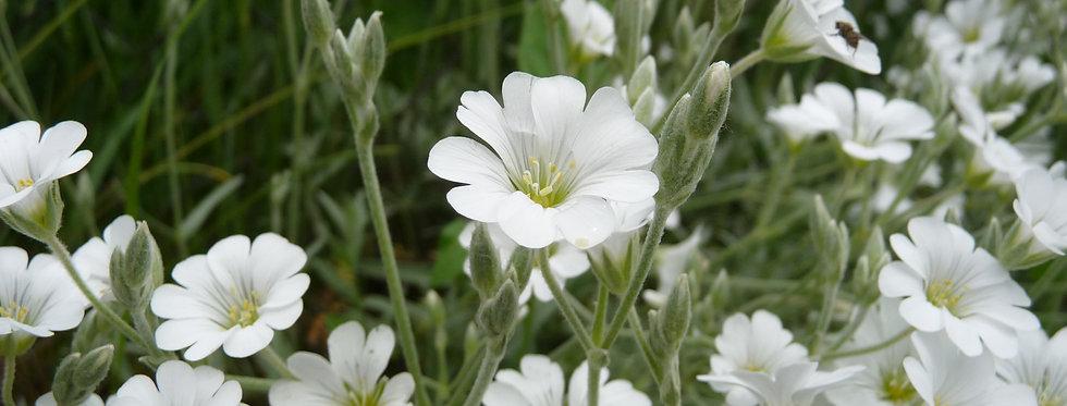 Ясколка Биберштейна, Cerastium biebersteinii