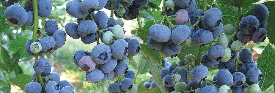 """Голубика садовая, Vaccinium corymbosum, """"Bluegold"""""""