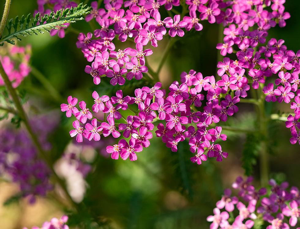 """Тысячелистник обыкновенный, Achillea millefolium, """"Lilac Beauty"""""""