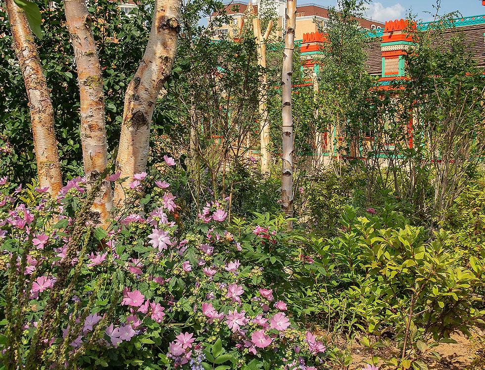 """Герань великолепная, Geranium magnificum, """"Rosemore"""""""