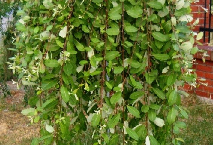 Ива козья, Salix caprea, f. pendula