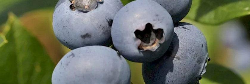 "Голубика садовая, Vaccinium corymbosum, ""Сhandler"""