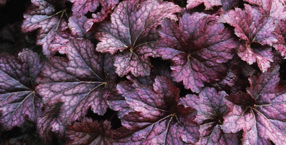 "Гейхера гибридная, Heuchera hybrida, ""Palace Purple"""