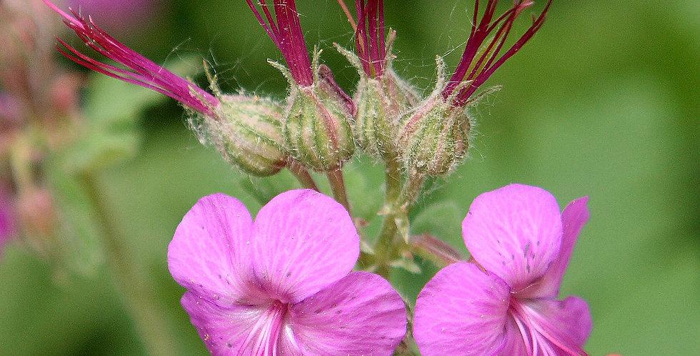 Герань крупнокорневищная, Geranium macrorrhizum
