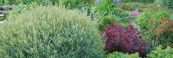 "Ива гибридная, Salix hybrida, ""Majak"""