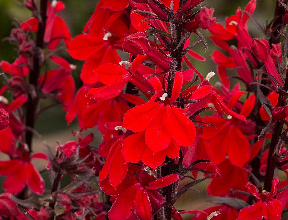"""Лобелия прекрасная, Lobelia speciosa, """"Fan Scarlet"""""""
