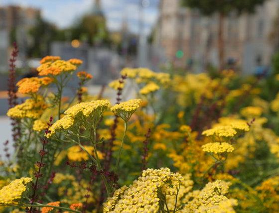 """Тысячелистник обыкновенный, Achillea millefolium, """"Coronation Gold"""""""